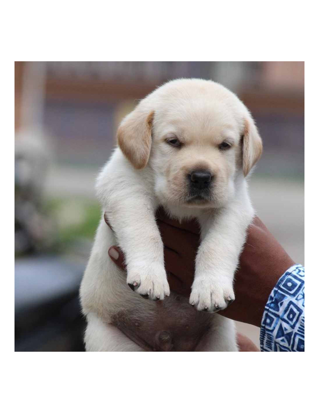 Labrador Retriever Puppies For Sale Gender Female