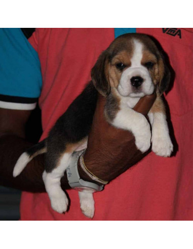 Beagle Puppies For Sale Gender Female