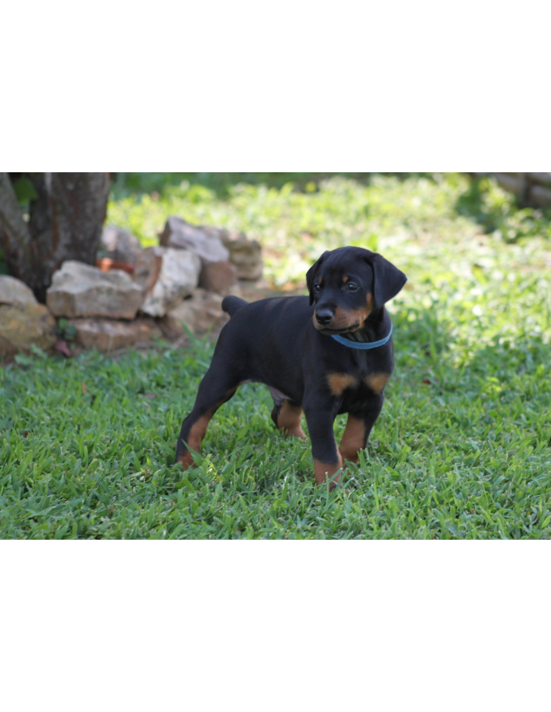 Doberman Pinscher Puppies For Sale With Best Price In India