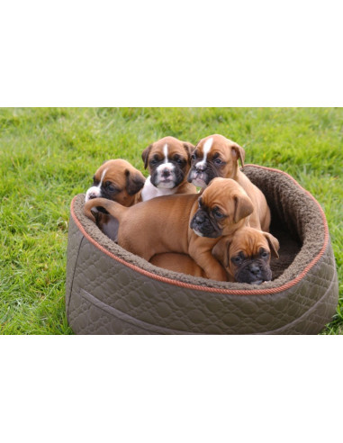 Boxer Puppies For Gender Female
