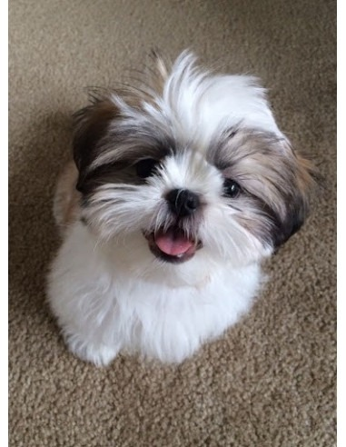 Shih Tzu Puppies For Sale Gender Female