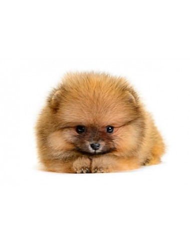 MINI POMERANIAN PUPPY