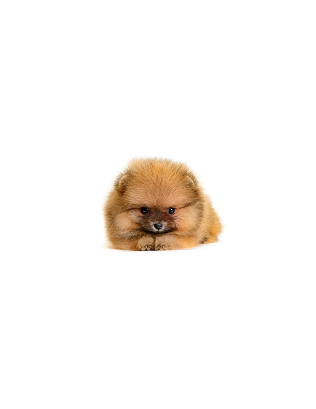 adopt pomeranian puppies mini pomeranian puppies for sale 7123