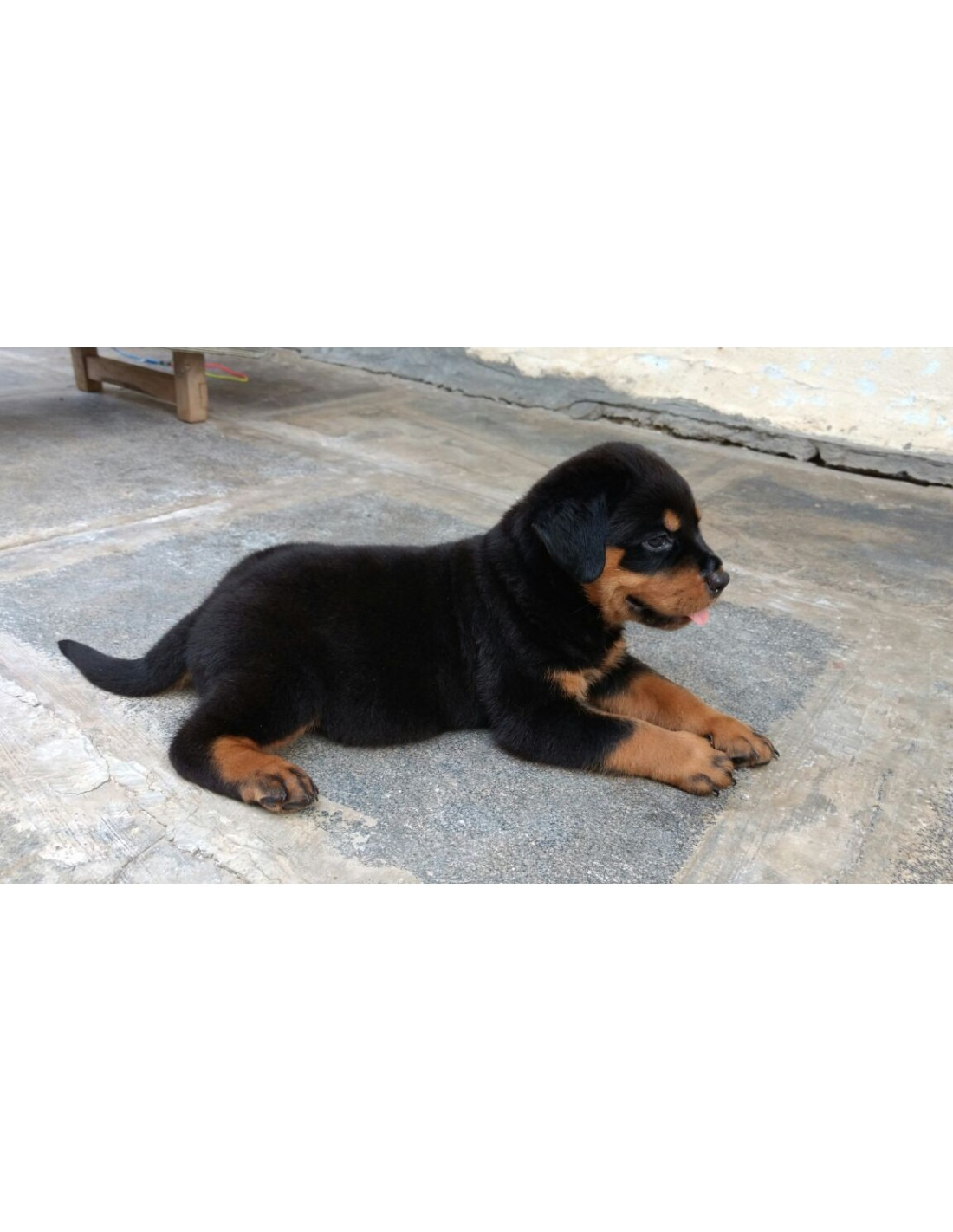 King rottweiler puppies for sale z--z xyz 2019
