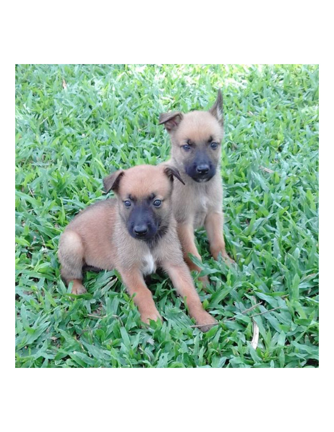 Belgian Malinois Puppies For Sale Gender Male