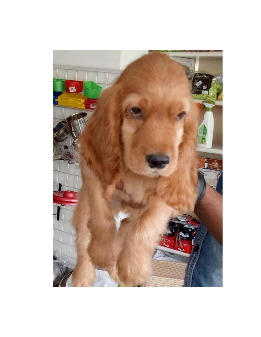 Cocker Spaniel Puppies For Sale Gender Female