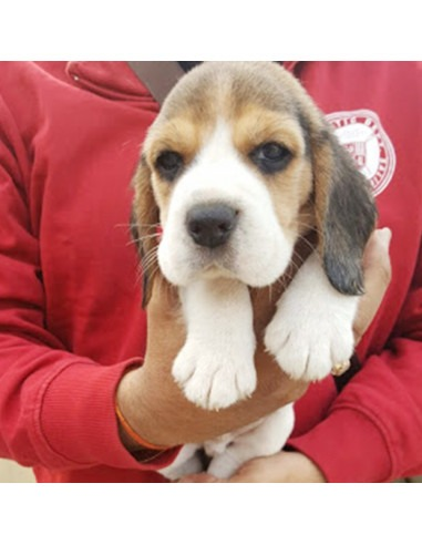 Beagle Puppies For Gender Female