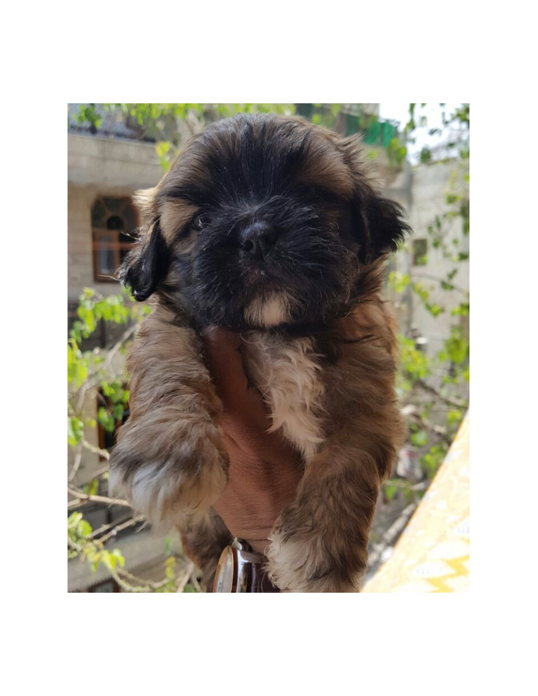 Lhasa Apso Puppies For Sale Gender Female