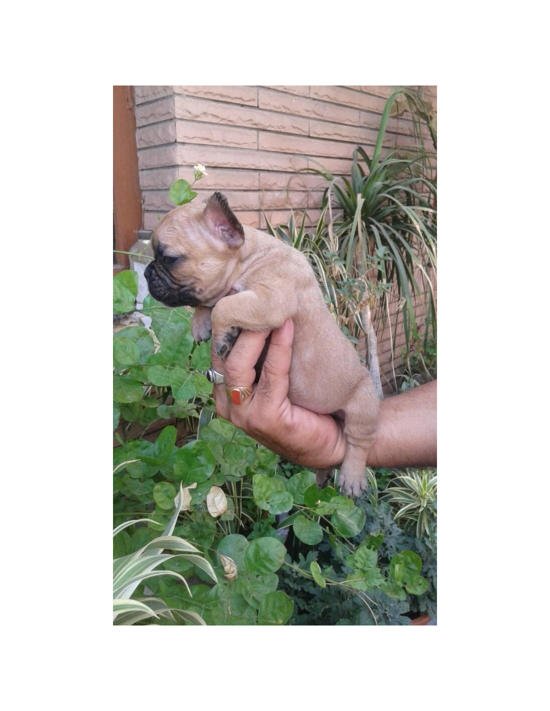 French Bulldog Puppies For Sale Gender Male
