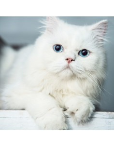 Persian Kitten ( Blue Eyes ) For Sale
