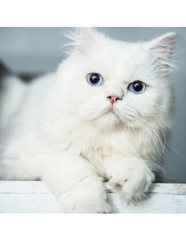Persian Kitten ( Blue Eyes ) For Sale