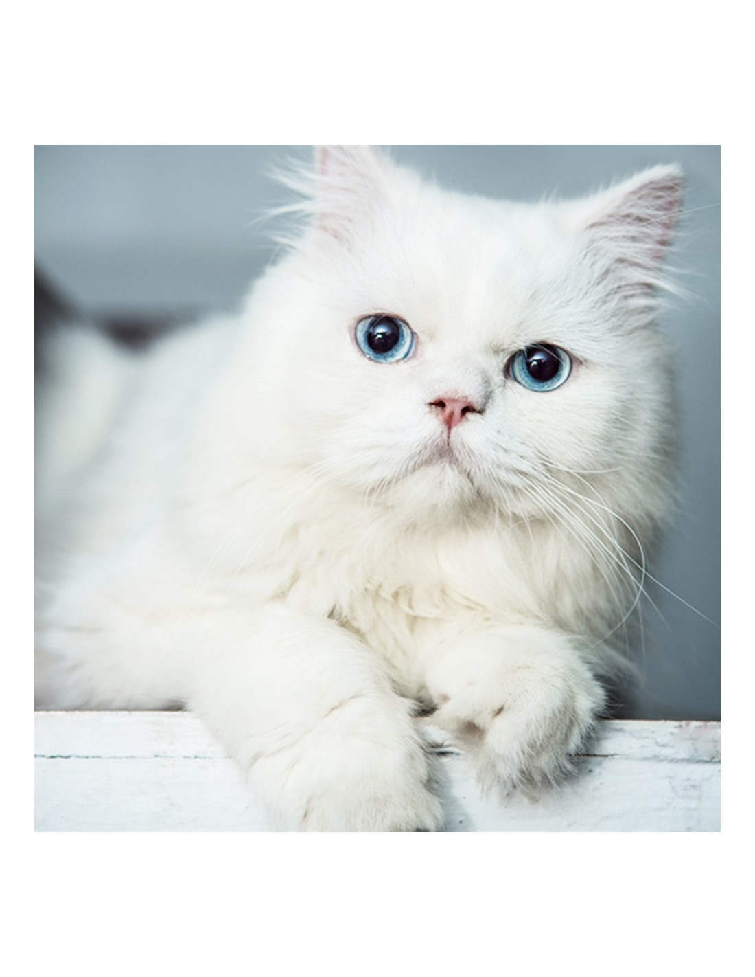 Persian Kitten Blue Eyes For Sale With Best Price In India
