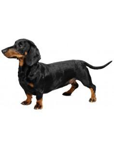 Dachshund Puppys For Sale.